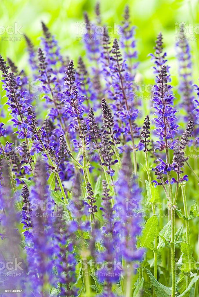 Lilac Sage (Salvia verticillata) 'Purple Rain' - V royalty-free stock photo