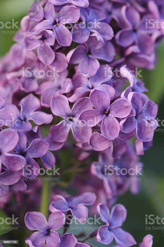 Lilac stalk royalty-free stock photo