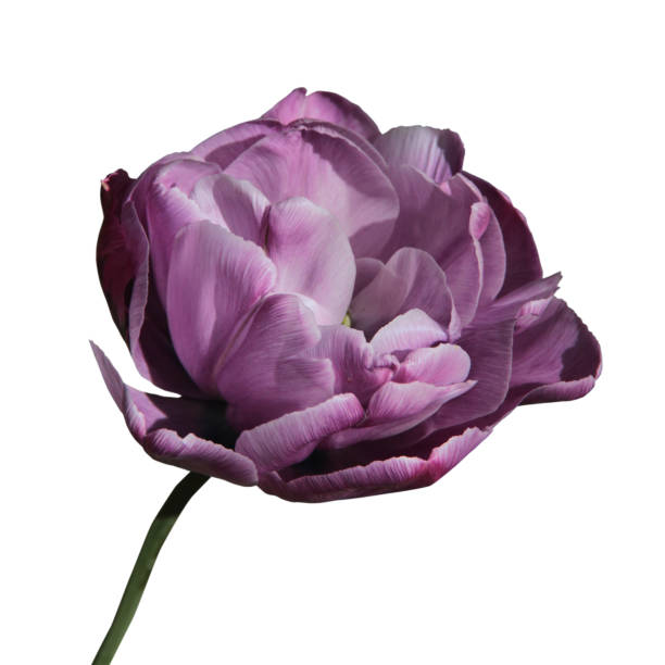 Lilac tulip flower head isolated on white background picture id1226223843?b=1&k=6&m=1226223843&s=612x612&w=0&h=t6y bfufk6i1m2tjvz0mj7t3rqwlkd0brfngbxjciic=