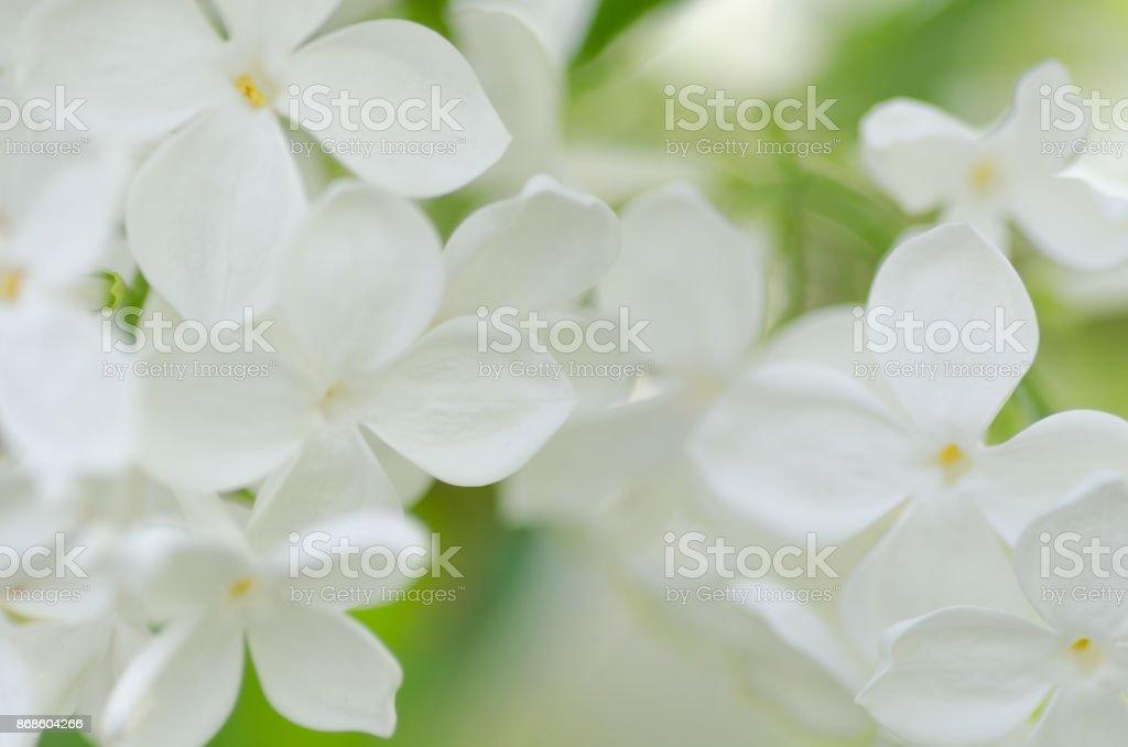 Foto macro branco lilás - foto de acervo