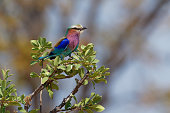 Lilac-breasted Roller - Coracias caudatus - colorful magenta, blue, green bird in Africa, widely distributed in sub-Saharan Africa, vagrant to the Arabian Peninsula, prefers open woodland and savanna.
