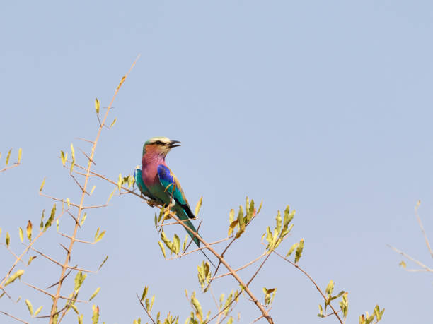 Lilac-breasted roller Coracias caudatus perched in tree top Zimbabwe stock photo