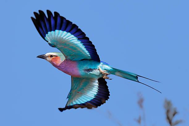 carraca de pecho violeta en vuelo - pájaro fotografías e imágenes de stock