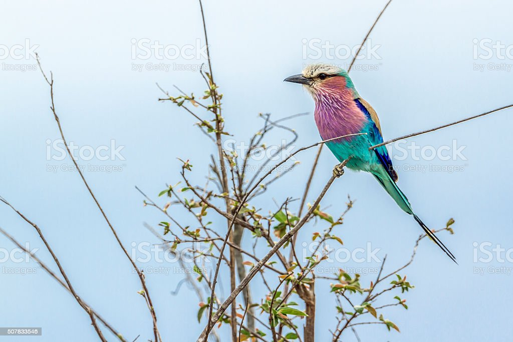 Lilac-breasted roller in Kruger National park stock photo