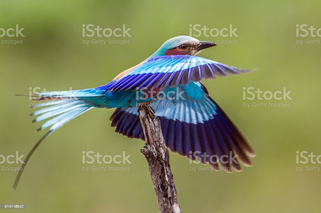Lilac-breasted roller in Kruger National park, South Africa stock photo