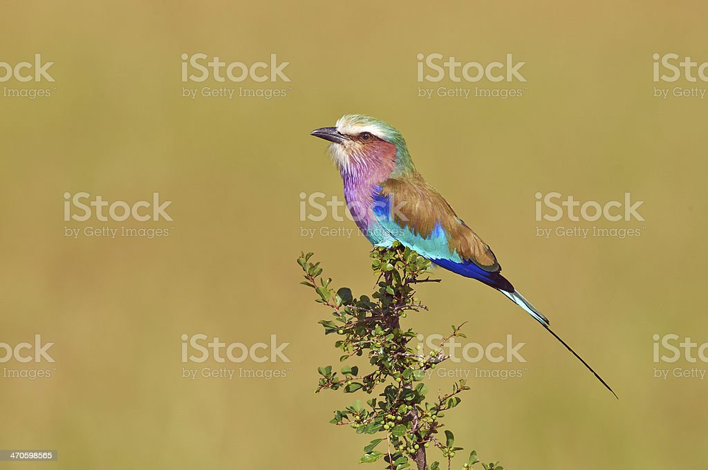Lilac-breasted Roller stock photo