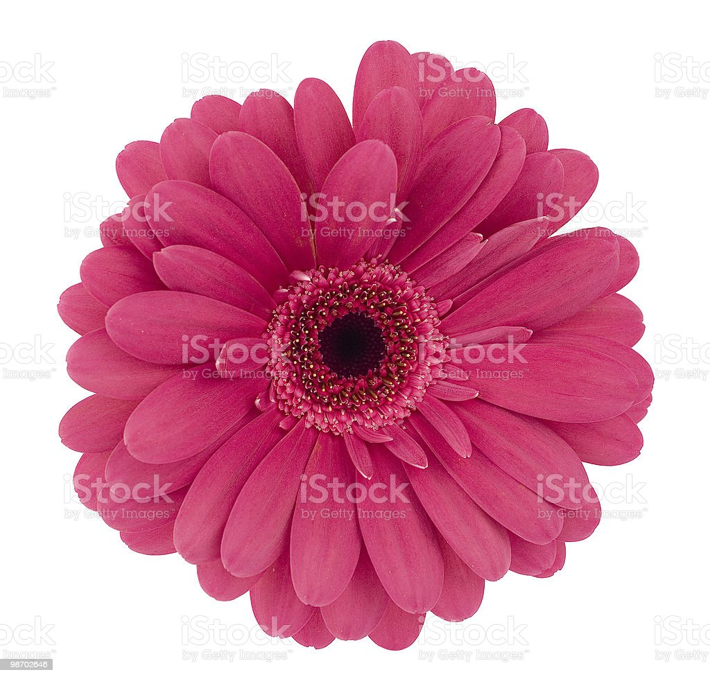 lilac-coloured gerbera royalty-free stock photo