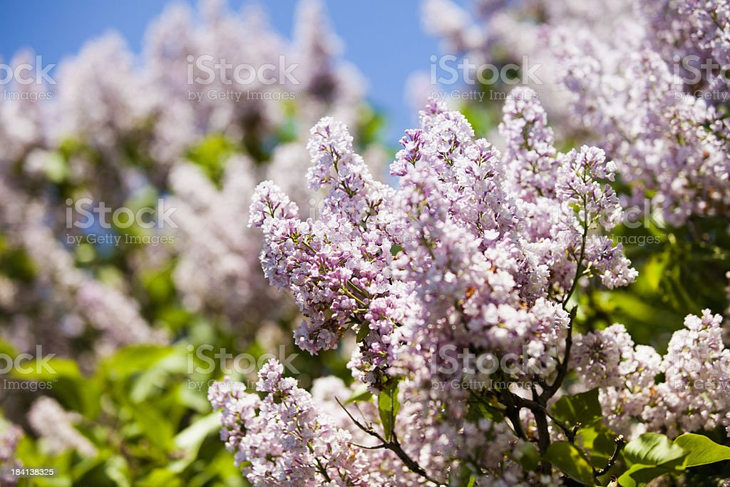Lilacs grow in a spring field royalty-free stock photo