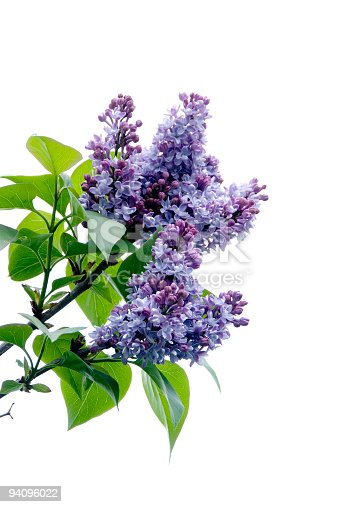 Purple Lilacs shot against sky, dropped out to white