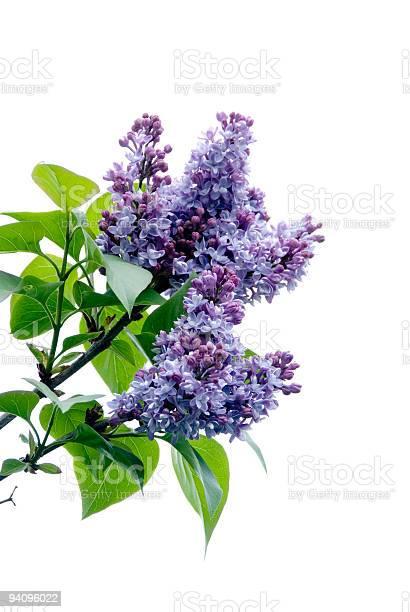 Lilacs on white picture id94096022?b=1&k=6&m=94096022&s=612x612&h=k1 xqspymki mrx854pxsaieiykhf klskapsfxjkje=