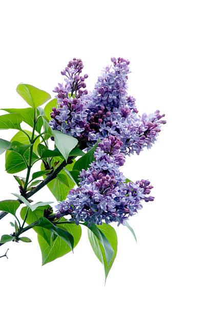 Lilacs on white picture id94096022?b=1&k=6&m=94096022&s=612x612&w=0&h=h0gvx0pqpqfothu9t4uxsrovtl4 lub9u7qvw855rcg=