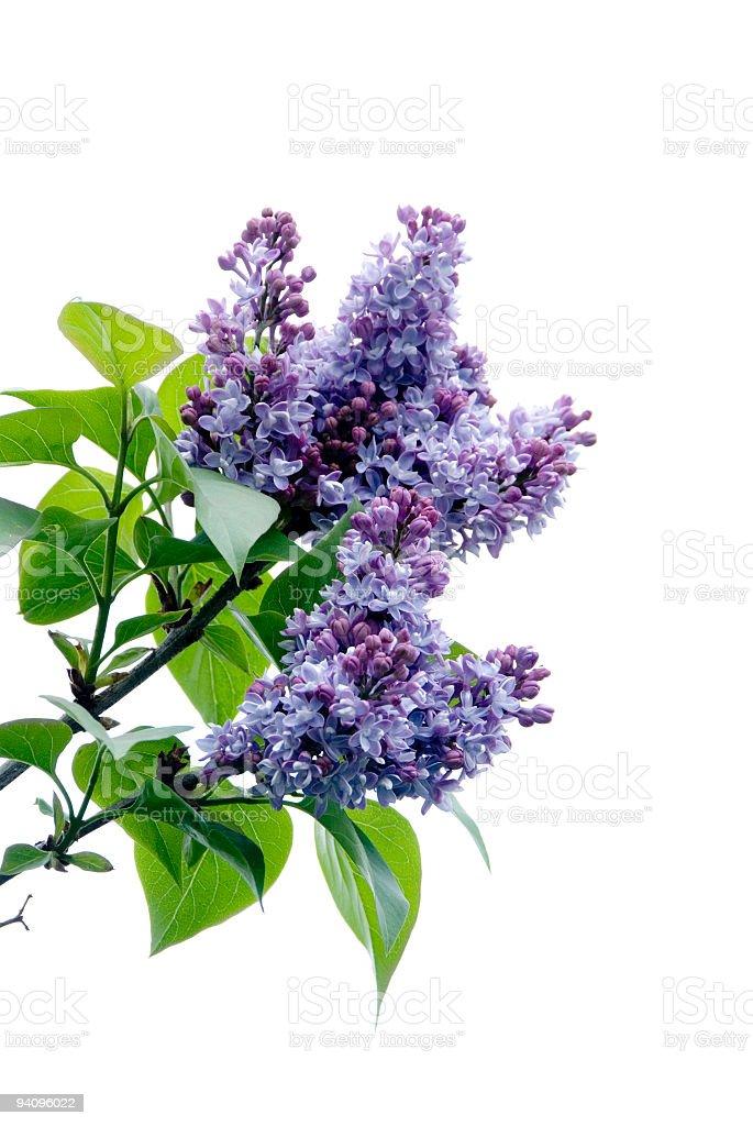Lilacs on white stock photo
