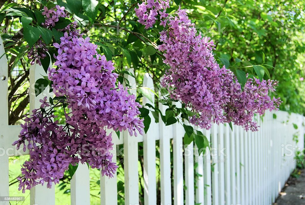 Lilacs Over the Fence stock photo