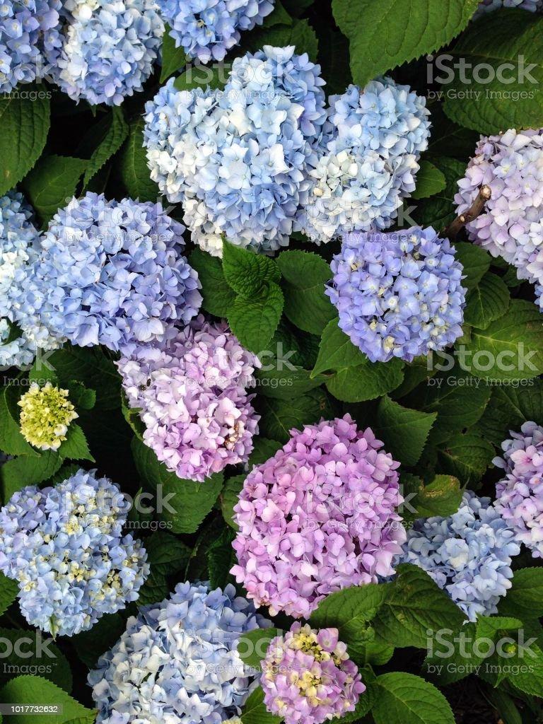IMG_6211 Lilacs stock photo