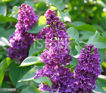 lovely lilacs in sunlight
