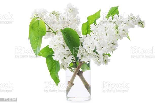 Photo of lilacs