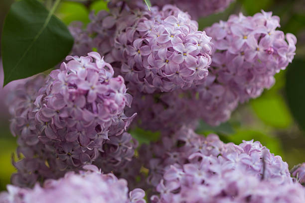 lilacs - mackinac island stock photos and pictures