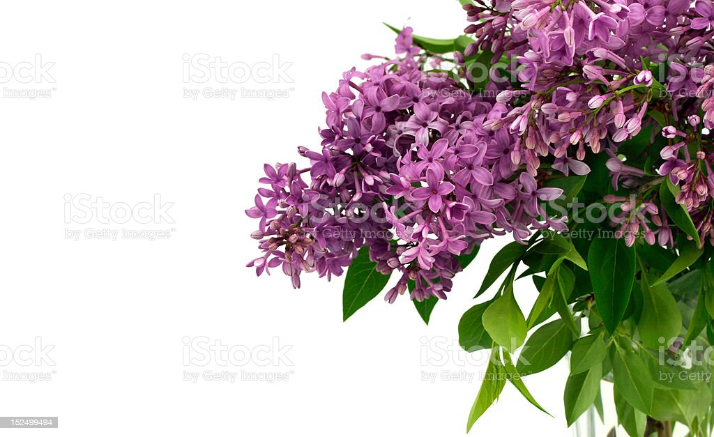 Lilacs with White Space for Text royalty-free stock photo