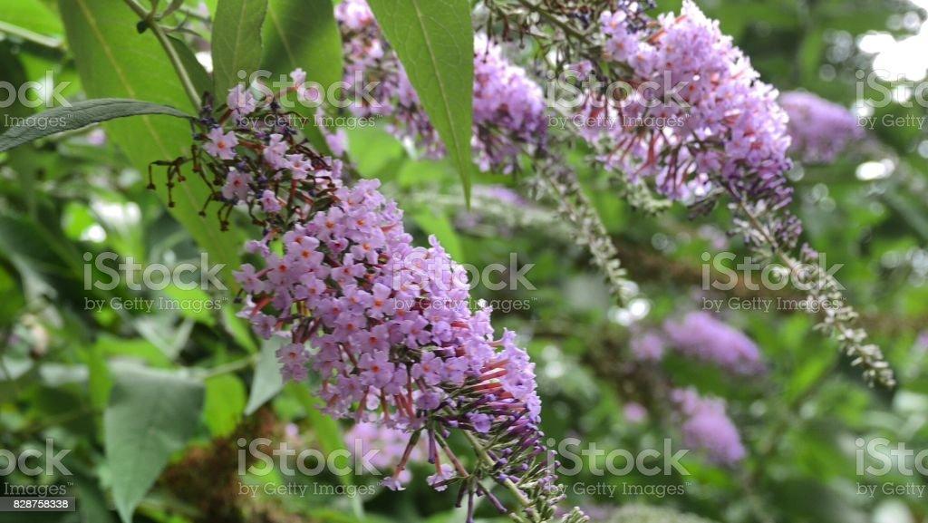 lilas violet - Photo