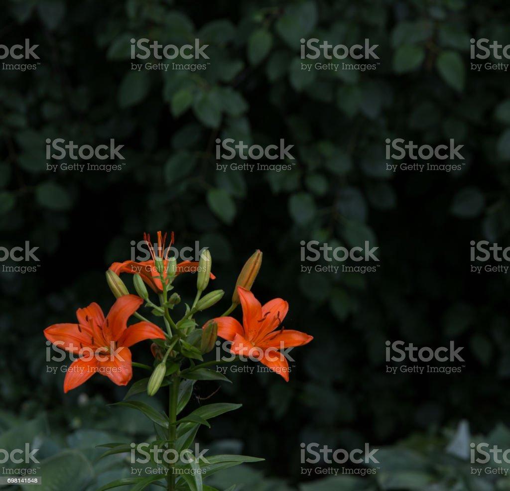 Lilies against dark background stock photo
