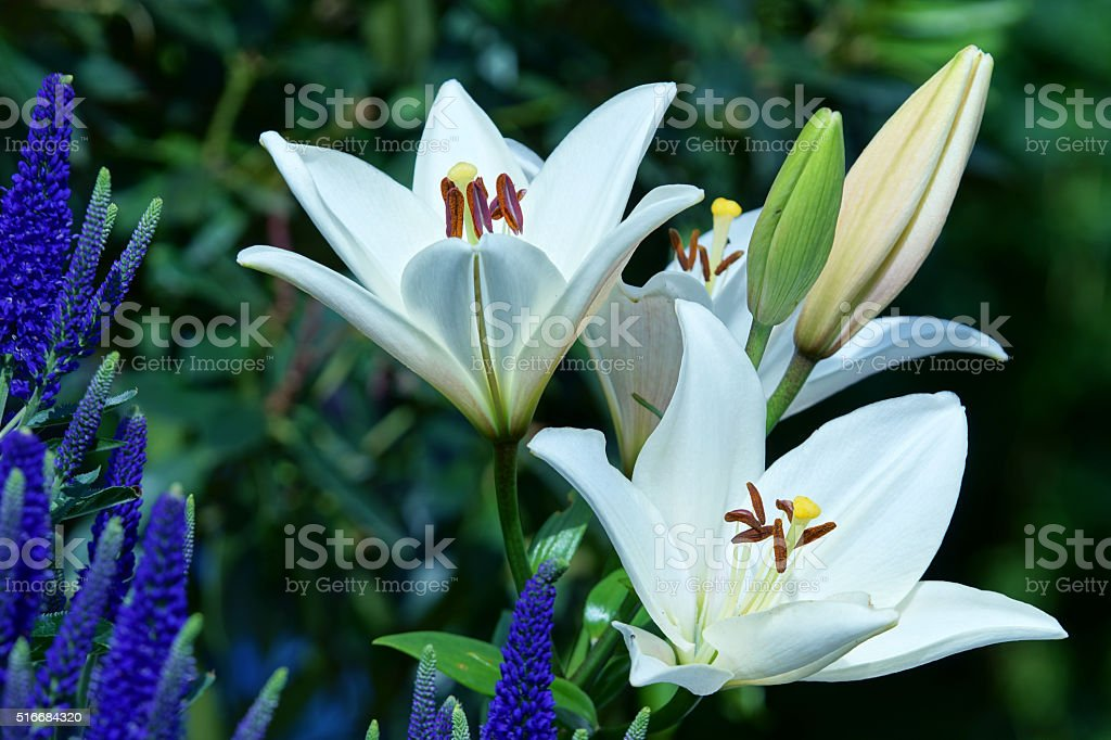 Lilies and veronica spicata stock photo