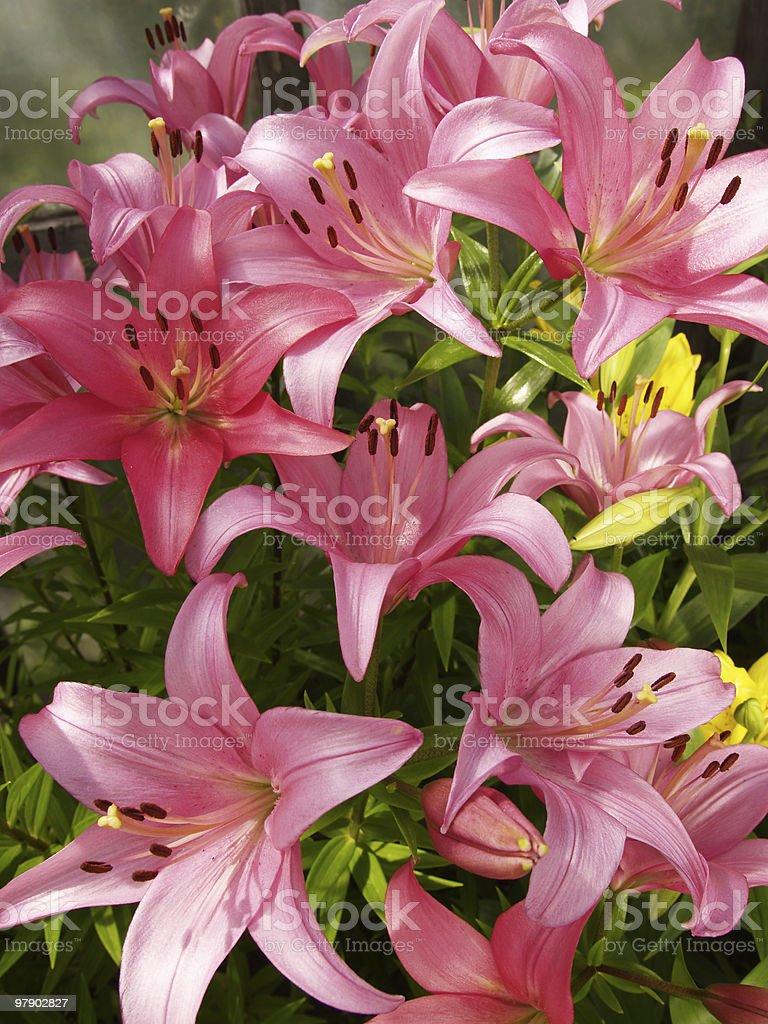 Lilies garden royalty-free stock photo