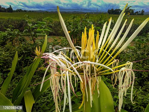 These lilies are still wild and grow near rivers in rice fields, in the lakbok area of West Java, Indonesia