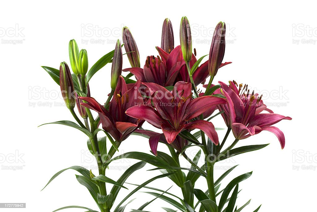 Lilies isolated on White stock photo