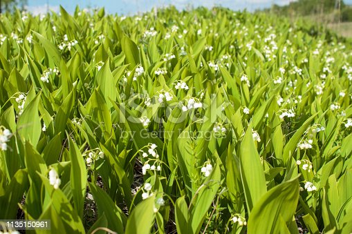 istock Lilies of the valley bloom on a hill in a sunny summer day 1135150961