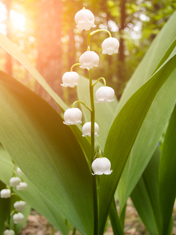 Lilies Of The Valley In The Forest Stock Photo - Download ...