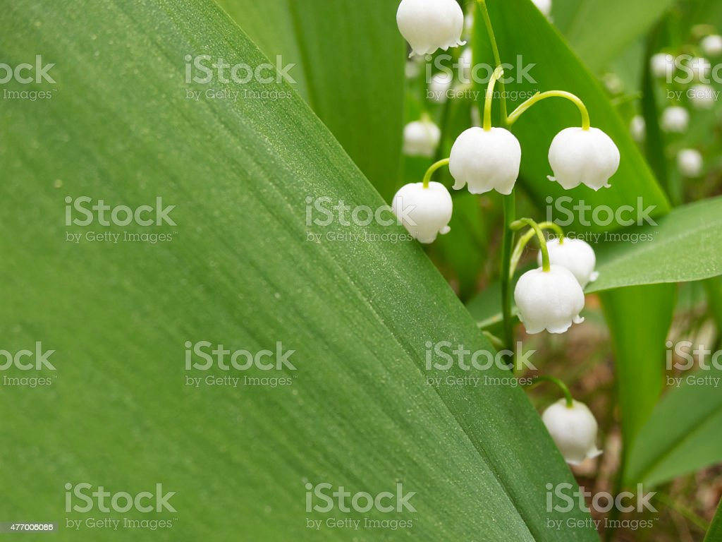 Lilies of the valley near sshirokim sheet. Copy space.