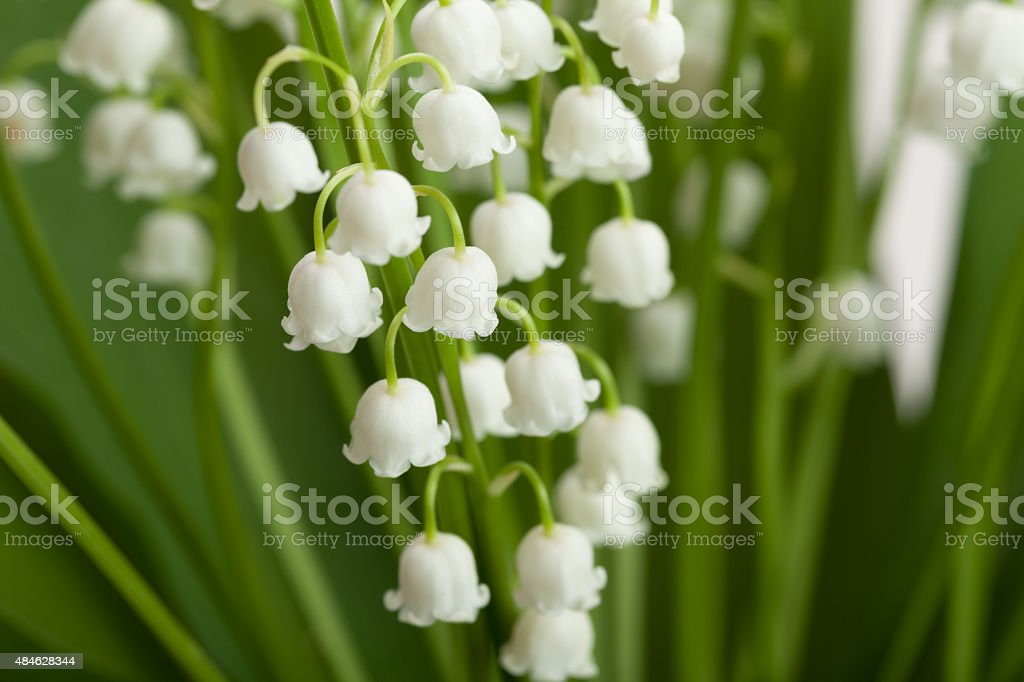 Lilies of the valley close-up