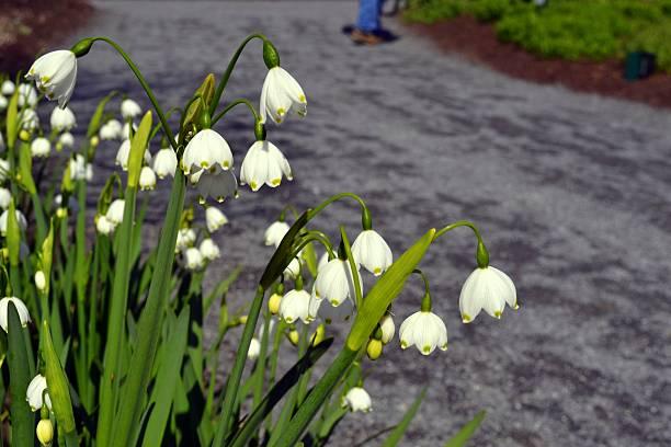 Lilien des Valley – Foto