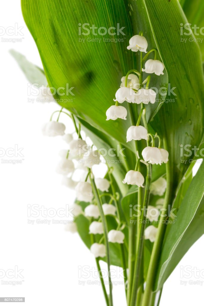 The branch of lilies of the valley flowers, Convallaria Majalis, with...