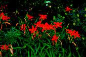 istock Lilies 1257466877
