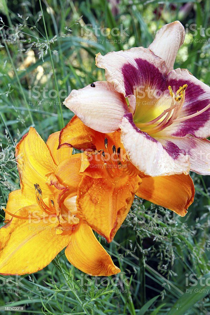 Lilies royalty-free stock photo