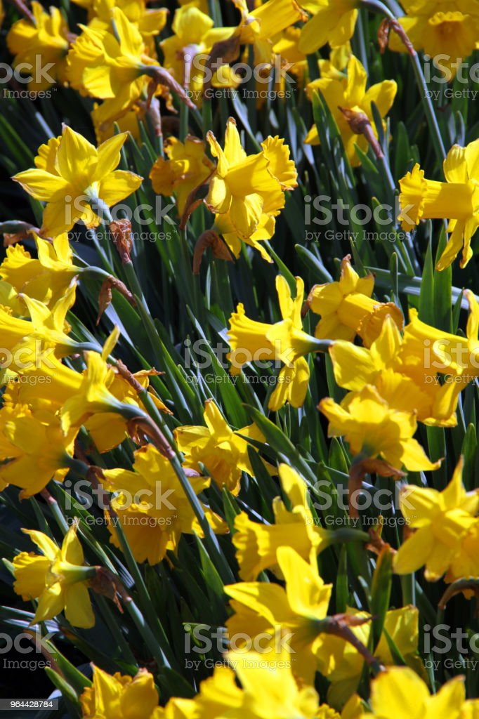 Lilies - Royalty-free Abbotsford - Canada Stock Photo