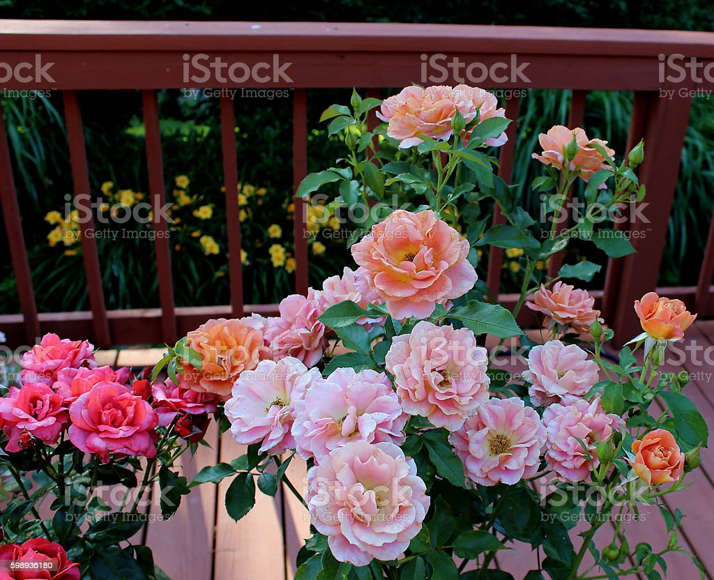'Lilies & Roses' stock photo