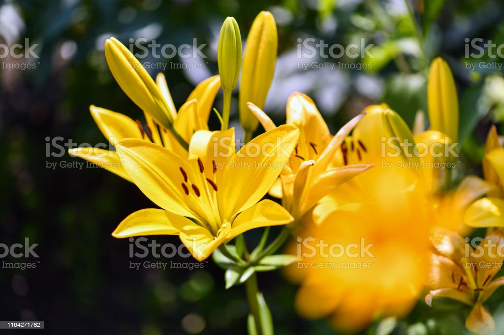 Lilies Yellow Lily Flowers In The Garden Summer Background Stock