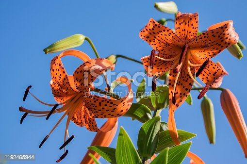 Lilium lancifolium beautiful flowers in bloom, ornamental orange flowering plant, black dots, against blue sky,