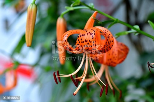 """Lilium lancifolium, commonly called """"tiger lily"""", is a species of lily, native to East Asia including Japan and China. It is in flower from mid to late summer (August to September). It bears bright and showy, orange-colored flowers covered with black or deep crimson spots, giving the appearance of the skin of tiger, hence its common name."""