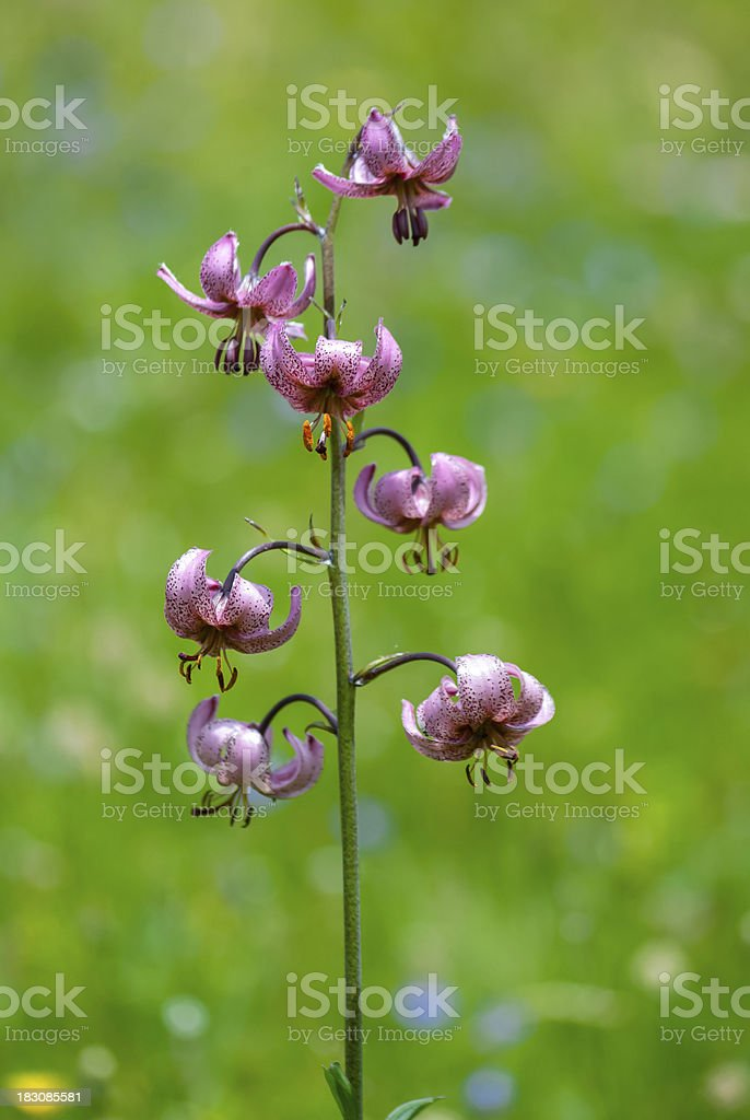 Lilium martagon on natural background royalty-free stock photo