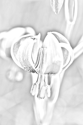 Lilium pyrenaicum Pyrenean lily large flower with desaturated color leaving only the lines that define its silhouette
