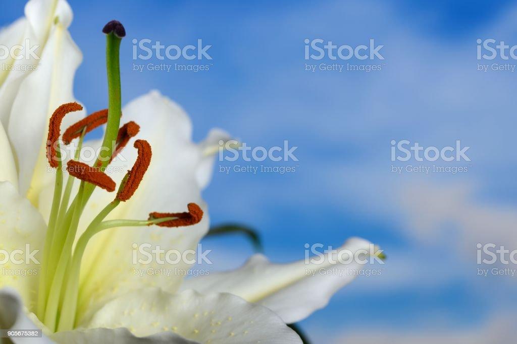 Lilium regale on blue sky background stock photo