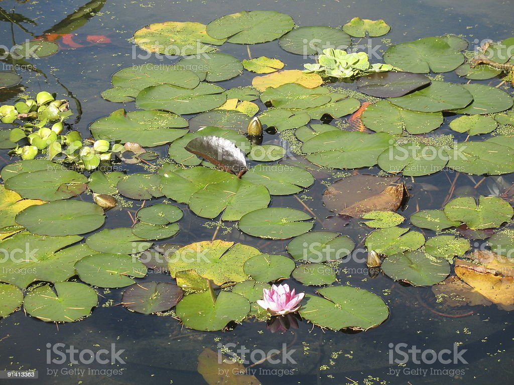 Lillipads in a koi pond royalty-free stock photo