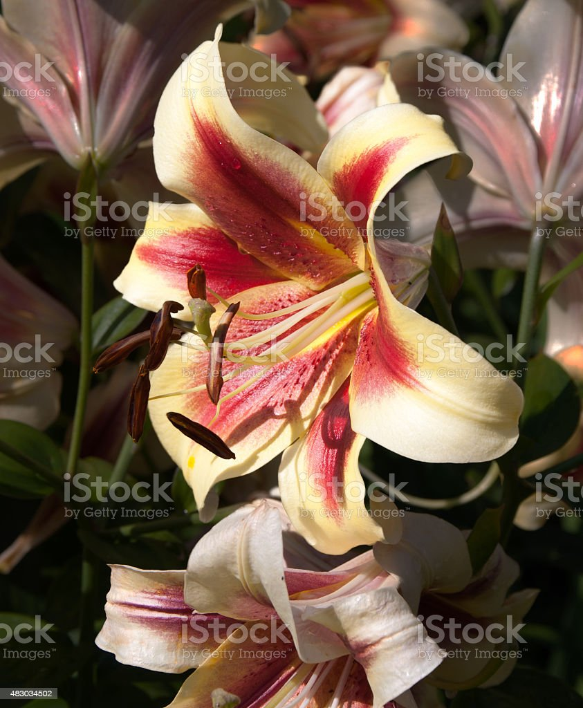 Lilly 89 stock photo
