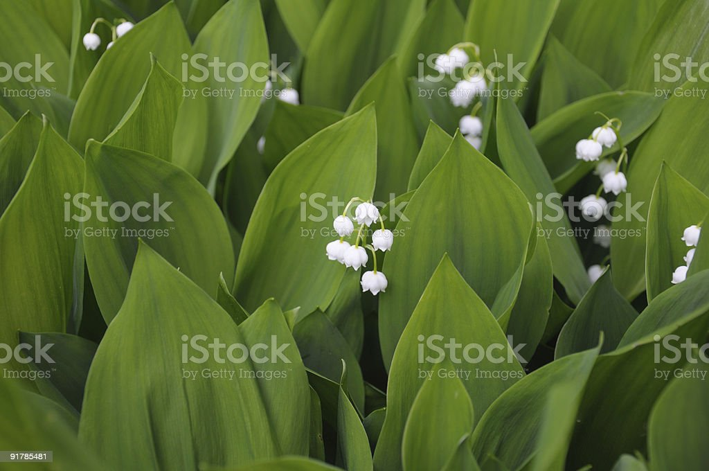 Lilly of the valley flowers royalty-free stock photo