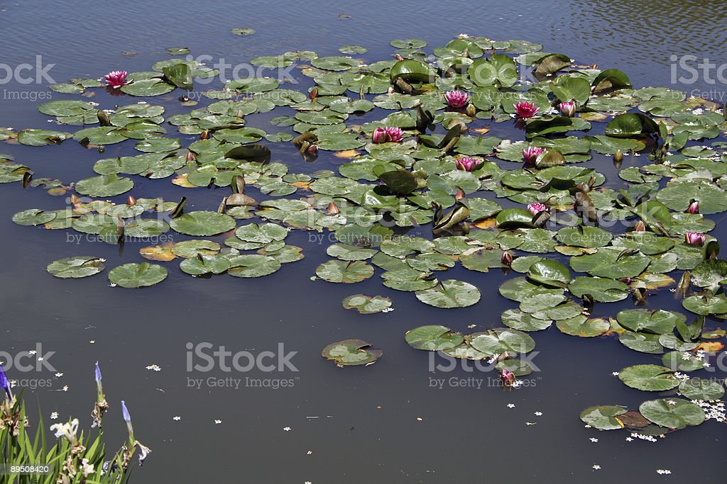 Lilly Pad Oasis royalty-free stock photo