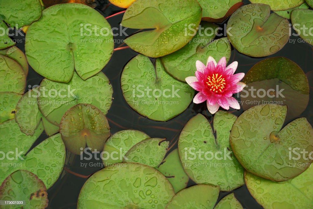 Lilly pond stock photo