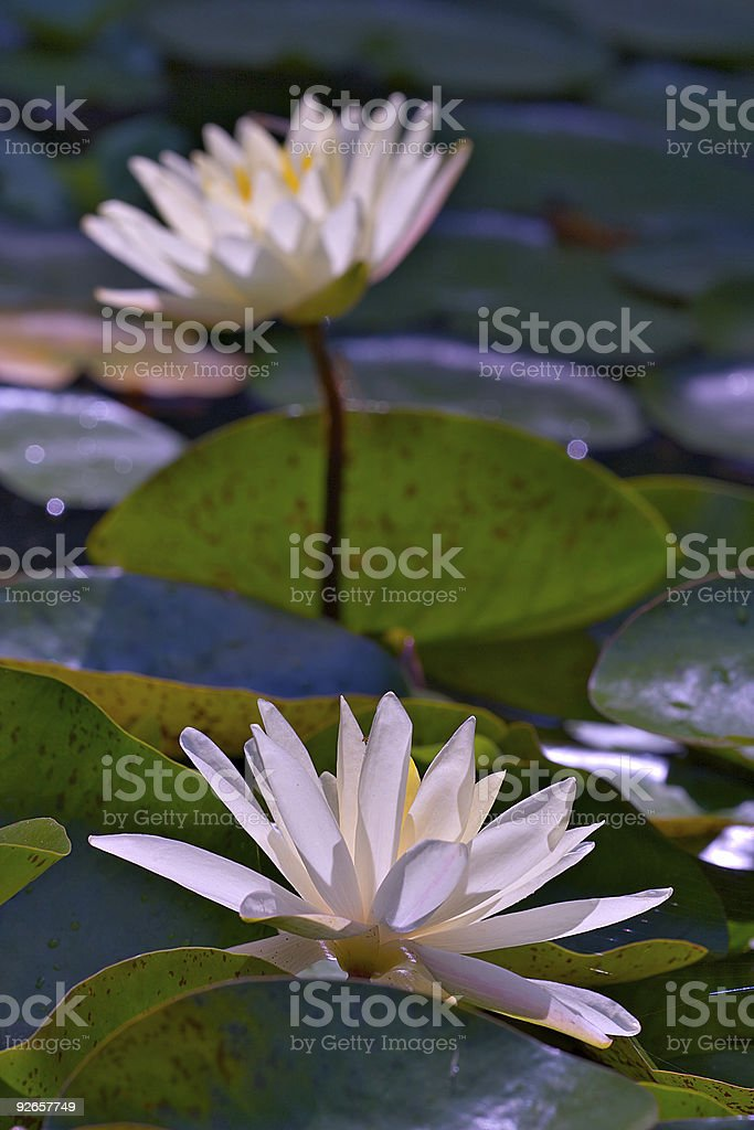 Lilly pond with two beige flower closeups royalty-free stock photo